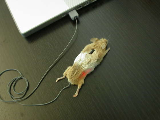 """мышь из семейства """"Правильные"""""""